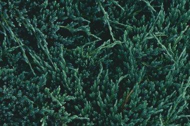 Full frame shot of green fir branches for background stock vector