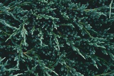 """Картина, постер, плакат, фотообои """"полный кадр красивых еловых ветвей для фона постеры печать картины фото фотографии"""", артикул 212542102"""