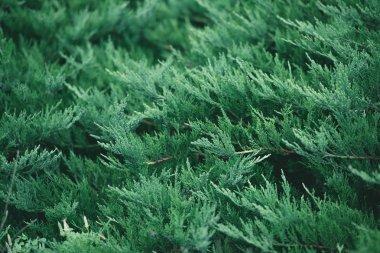 Full frame shot of fir branches for background stock vector