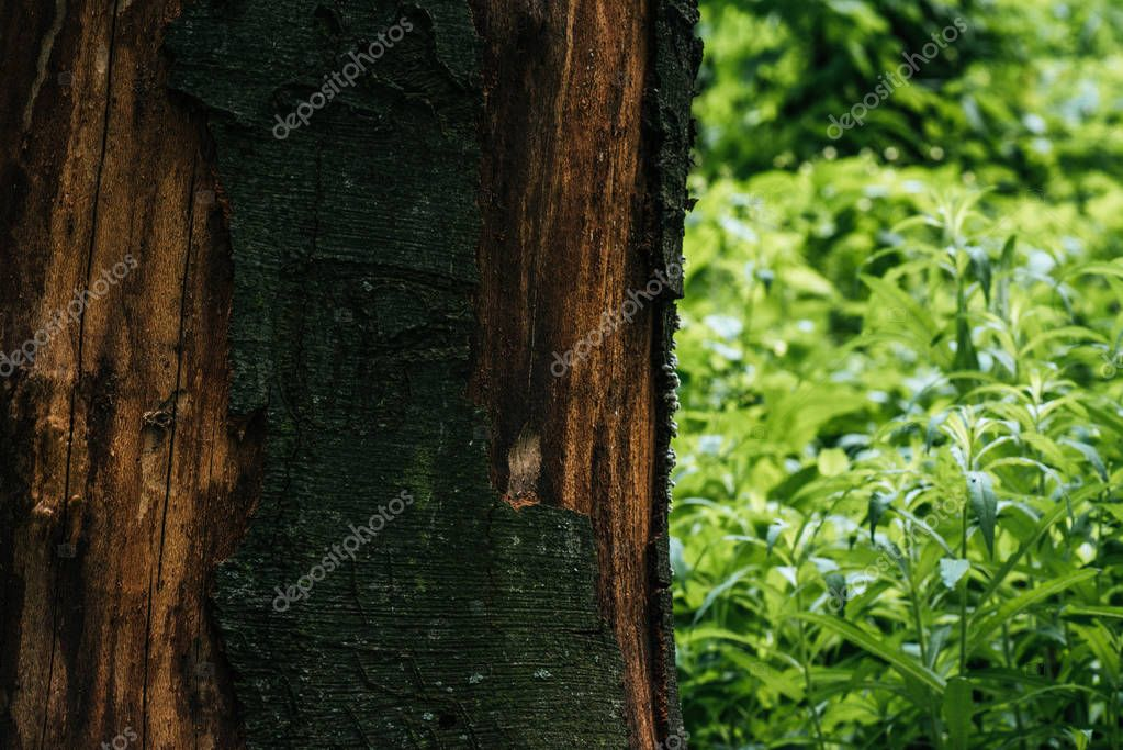 close-up shot fo cracked tree bark with green leaves on background