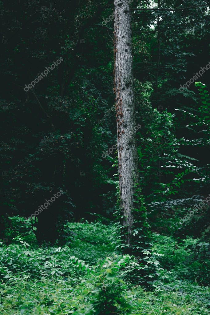 dramatic shot of pine tree trunk in green forest