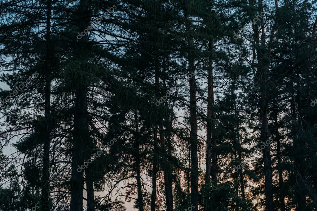 silhouettes of pine trees with sunset sky on background