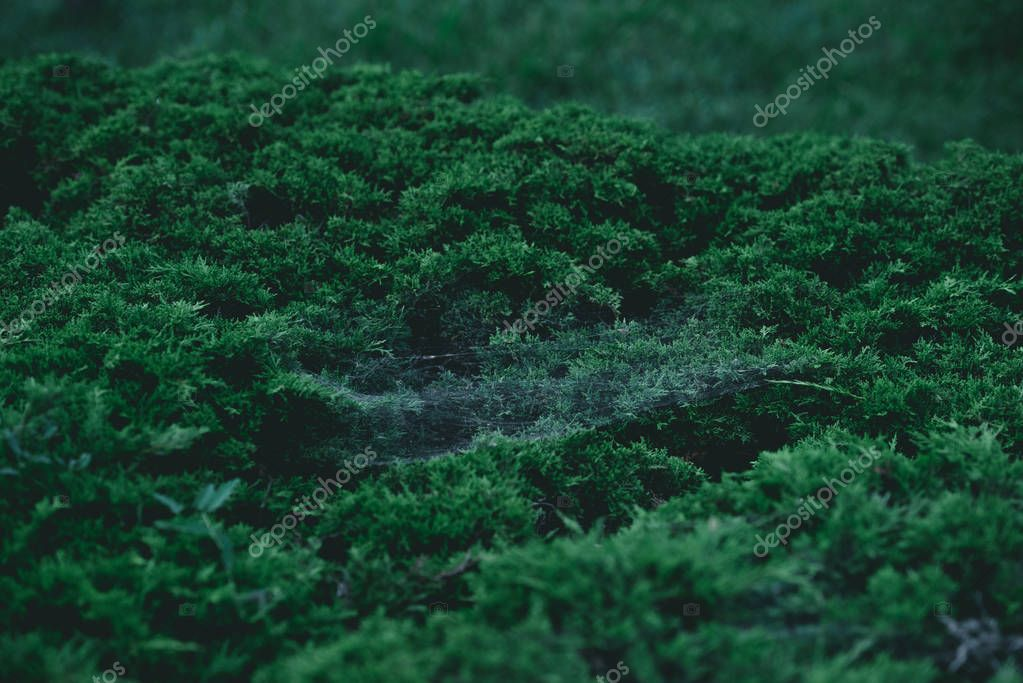 full frame shot of green fir bush with spider web on branches for background