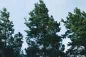 schöne drei Kiefern bei windigem Wetter im Wald