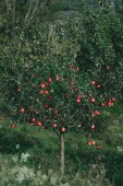 Fotografie apple tree with organic red apples on branches in orchard