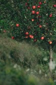 Fotografie apple tree with ripe red apples on branches in garden