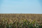 podzimní pole s zralé sladké kukuřice a modrá obloha