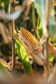 Detailní záběr z kukuřičné klásky v podzimní pole