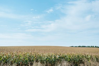 autumnal field with corn and blue cloudy sky