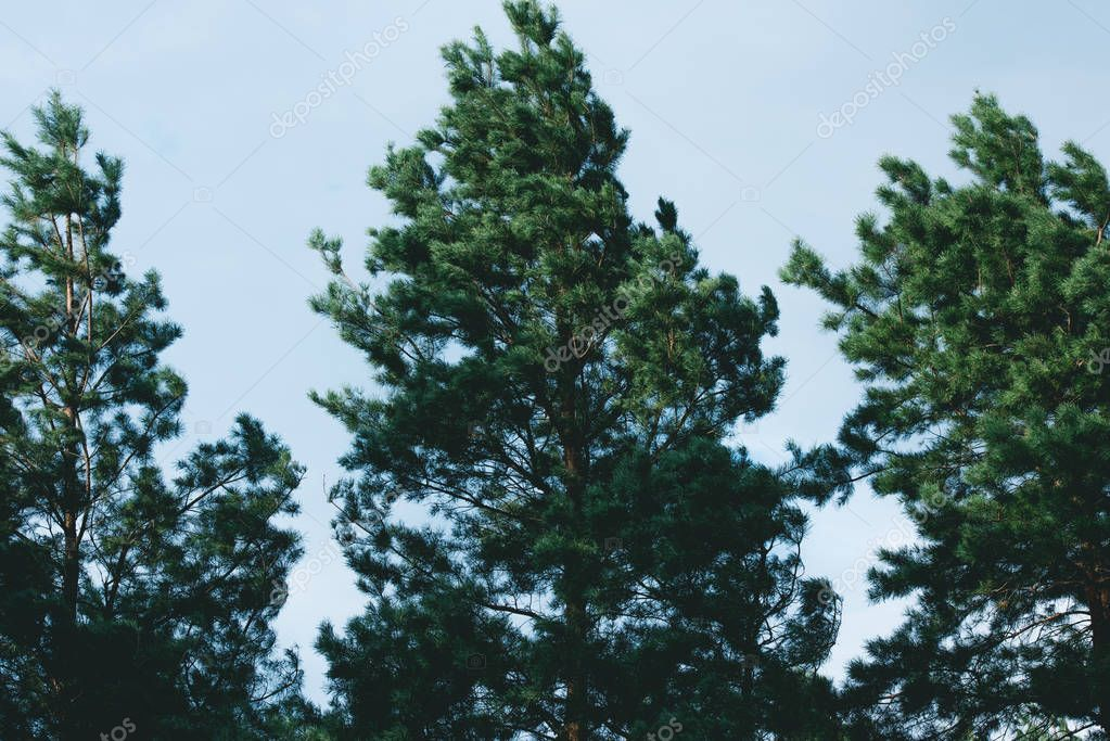 beautiful three pines during windy weather in forest