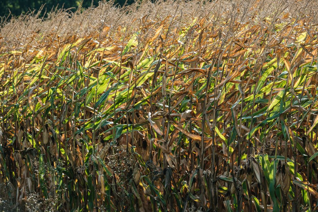 autumnal withering corn field during windy weather