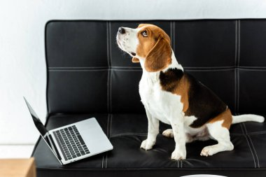 selective focus of cute beagle sitting on sofa with laptop at home