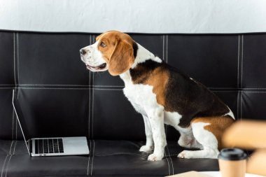adorable beagle sitting on sofa with laptop at home