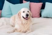 Usměvavý zlatý retrívr ležící na posteli s modré a růžové polštáře