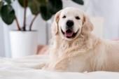 Boldog kutya nyelv kiáll kék párnák az ágyon