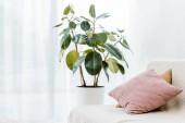 Fotografie Grünpflanze im Topf in der Nähe von Sofa mit Kissen