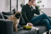 szelektív összpontosít, aranyos mopszli kutya szövet doboz és tüsszögés, kanapé, az ember közelében
