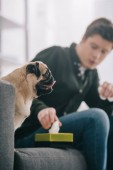 Selektivní fokus rozkošný Mops pes poblíž nabírající tkáň z papírové kapesníky v boxu