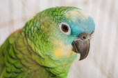 Fotografie selective focus of beautiful green parrot with multicolored head