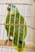 selektivní soustředění jasně zeleného papouška Amazonky sedícího v ptačí kleci