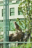 Photo selective focus of wild leopard sitting on tree trunk in cage