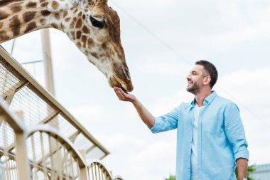 Selective focus of cheerful man feeding giraffe in zoo stock vector