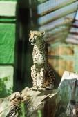 selective focus of wild leopard sitting in tree trunk near green plants in zoo