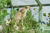 selective focus of wild leopard sitting near green plants in zoo