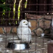 Photo selective focus of white owl near bowl in cage