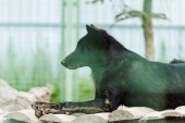 selective focus of black wild wolf lying in cage