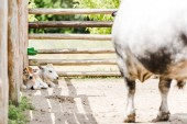 selective focus of calves looking at cow while lying near wooden fence