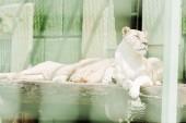 Fényképek a ketrecben fekvő veszélyes oroszlánok szelektív fókusza