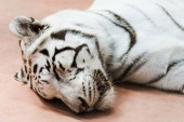 Wilder weißer Tiger mit geschlossenen Augen liegt im Zoo