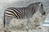 Photo wild zebra with black and white stripes standing in zoo