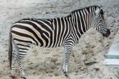 Divoká zebra s černými a bílými pruhy stojící v zoo