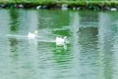 selective focus of white wild ducks swimming in lake