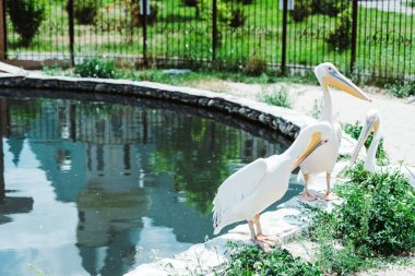 pelicans with white feathers standing near pond and green plants