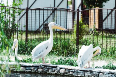 selective focus of pelicans with white feathers standing in zoo