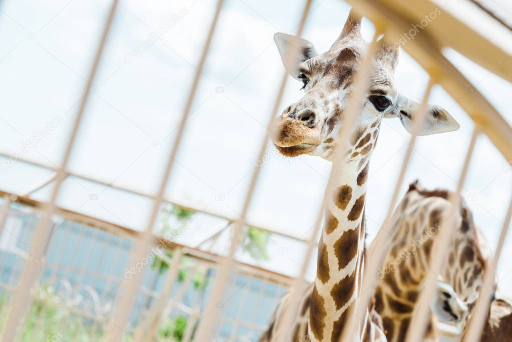 Selective focus of giraffes standing in cage against sky stock vector