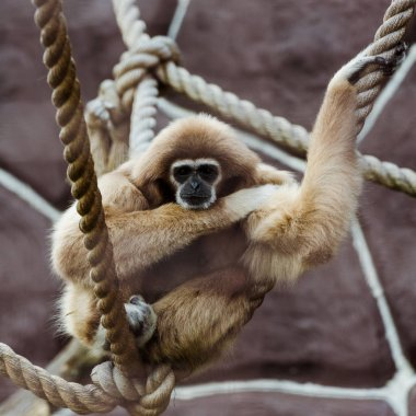 selective focus of monkey in ropes with knots in zoo