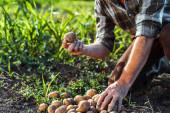 oříznutý pohled na seniory držící brambory poblíž kukuřičného pole