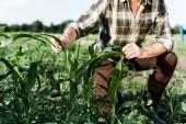 messa a fuoco selettivo del contadino autonomo seduto vicino al campo di mais