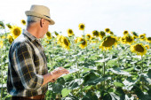 bearded farmer using digital tablet near field with sunflowers