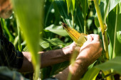 cropped view of farmer touching corn near green leaves