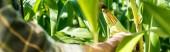 panoramatický záběr farmáře, který se dotýká kukuřice v blízkosti zelených listů