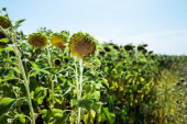 selective focus of field with blooming sunflowers against blue sky