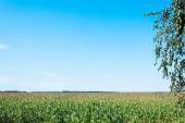 kukuřičné pole se zelenými čerstvými listy proti modrému nebi