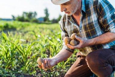 Self-employed farmer in straw hat holding potatoes near corn field stock vector