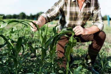 Selective focus of self-employed farmer sitting near corn field stock vector