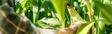 panoramic shot of farmer touching corn near green leaves